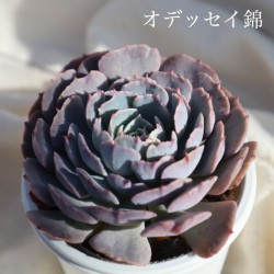 多肉(オデッセイ錦)